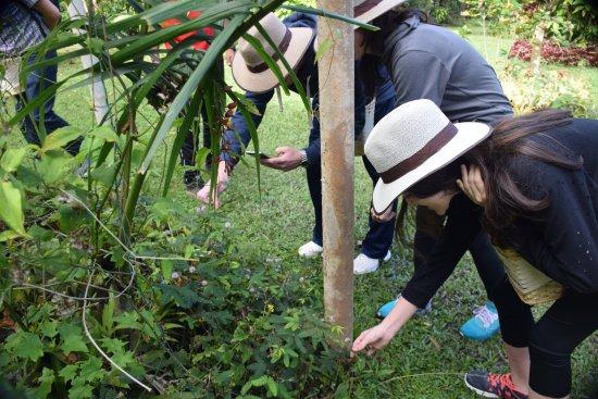 Fusagasugá, Colombia: Se puede participar de la recolección de granos de café, mientras se escucha al guía.