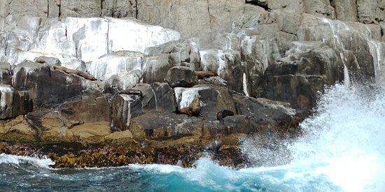 Tasman Island Cruises : Australian Seals on Rocks