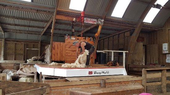 Warkworth, Selandia Baru: Sheep & dog show