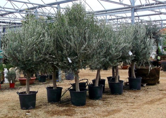 Olive trees for sale picture of olive grove oundle for Olive trees for sale