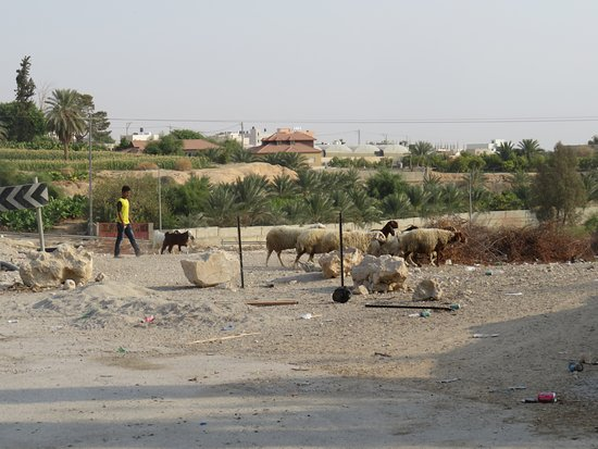 Jericho Resort Village: Goatherds in the morning.