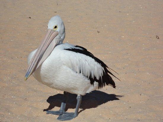 Monkey Mia, Австралия: Pelikan am Strand