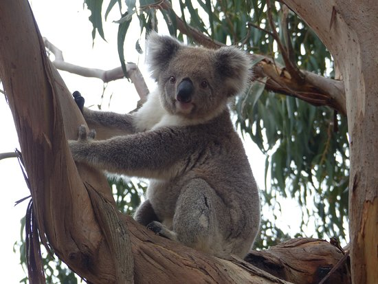 Hanson Bay, Australia: wild koala
