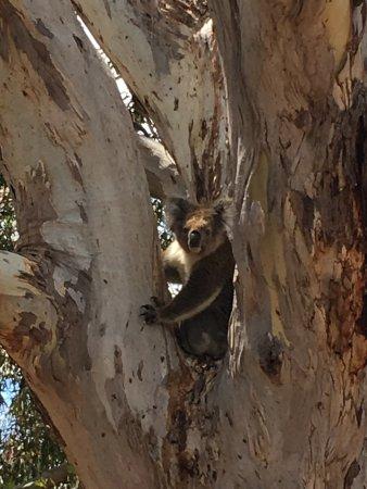 Kingscote, Australia: This adorable Koala was happy to pose for a photo!