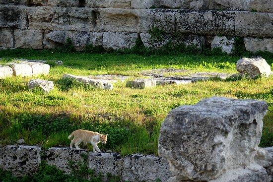 Tempel des Apollo (Tempio di Apollo): Uno de los gatos de la colonia felina que se refugia en el espacio del antiguo templo.