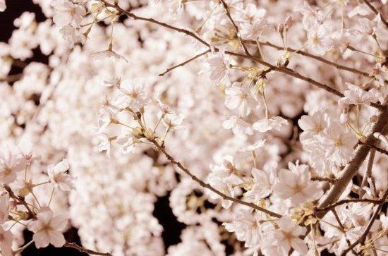 Mysterious Cherry Blossom Tour (Busan)
