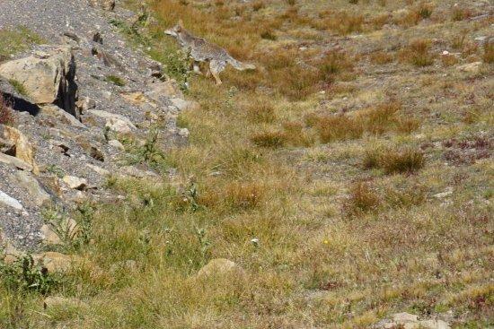 Trail Ridge Road: coyote at Rock Cut