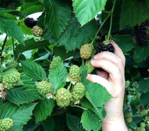 Valley Center, KS: Little hands picking big blackberries