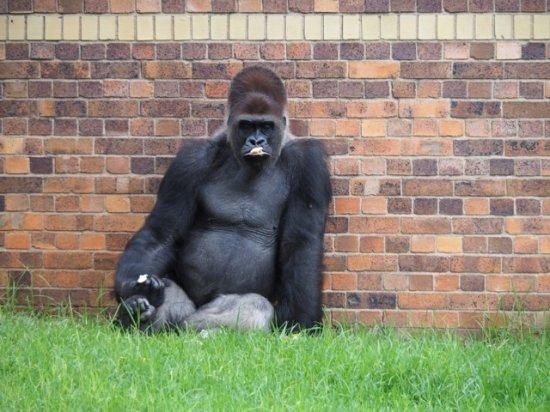 Johannesburg Zoo: Gorilla.