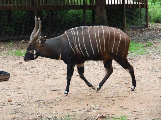 Johannesburg Zoo: Bontebok?
