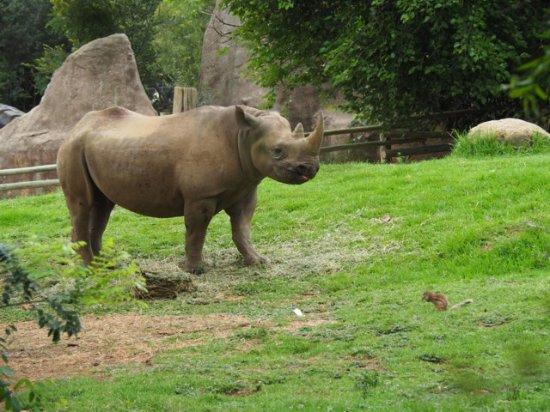 Johannesburg Zoo: Black Rhino