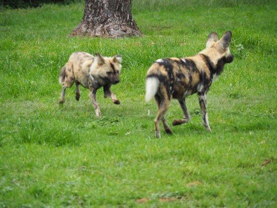 Johannesburg Zoo: Wild dog