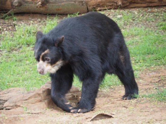 Johannesburg Zoo: Spectacle bear