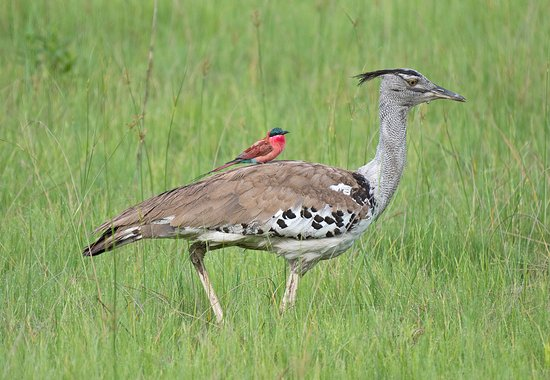 Camp Savuti: Kori bustard with a Carmine bee-eater
