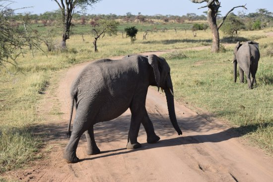 Seronera: Heard of elephants just walked passed us