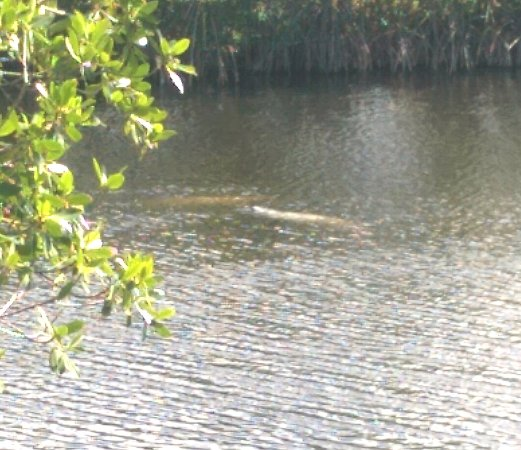 Big Cypress Swamp Welcome Center: Manatees near the Big Cypress Visitor Center.