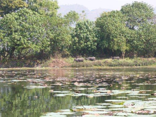 Reality Tours and Travel: Lotusteich mit Wasserbüffelns