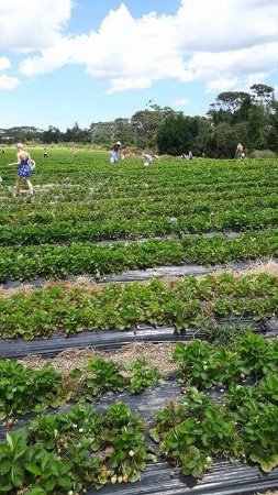 Kumeu, Nouvelle-Zélande : Strawberry Picking Auckland