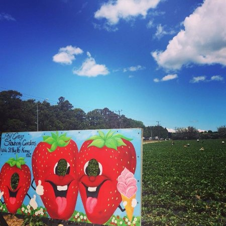 Kumeu, New Zealand: Strawberry Picking Auckland