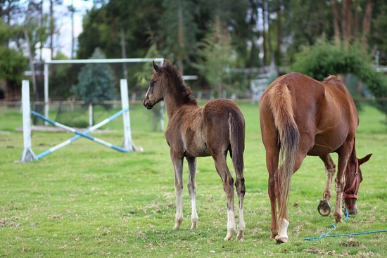 Recently born foal on riding stable in Cajamarca.