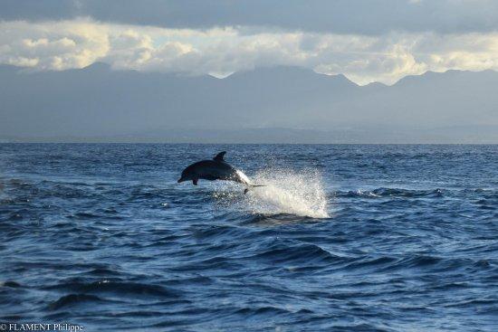 Patou Excursions: un des dauphins vu dans le grand cul de sac marin de guaeloupe le 1 févréer 2018