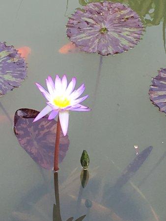 Kilauea, HI: Lily Pond with Coi a the Golf Course Garden