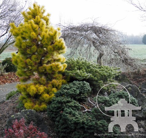 Lael S Moon Garden Chief Joseph Lodgepole Pine Pinus Contorta In Winter And Companion