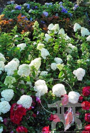Rochester, WA: Roses, Hydrangeas, Physocarpus and more
