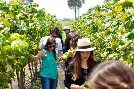 San Juan del Río, México: Sé parte de nuestra vendimia anual y cosecha con nosotros!