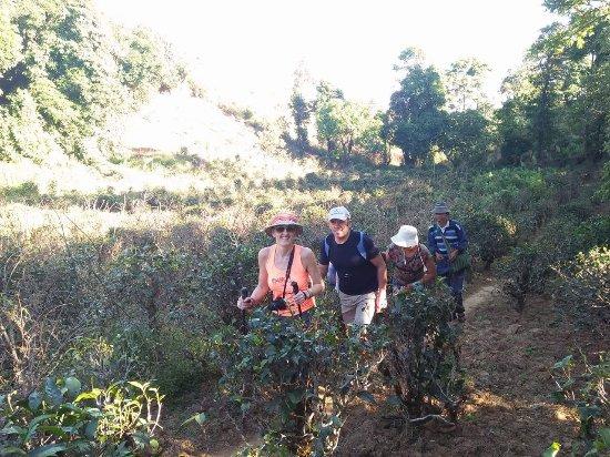 Pindaya, Myanmar: Walking among tea plantation