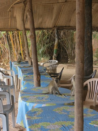 Janjanbureh, Gambia: monkeys on the restaurant table cloth