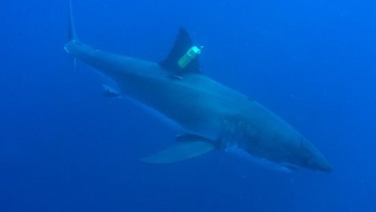 Great White Adventures: This tracker was placed on the shark while we at Guadalupe by a research vessel!
