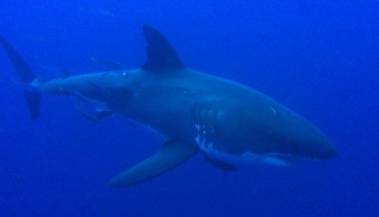 """Great White Adventures: This shark has been identified, and is named """"Slashfin"""""""