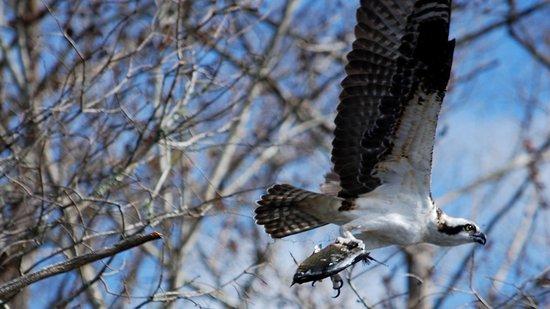 DeLand, فلوريدا: Osprey