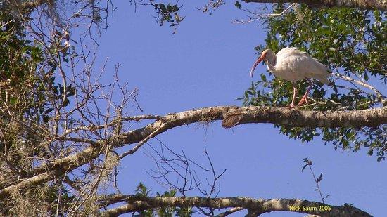 DeLand, فلوريدا: Ibis
