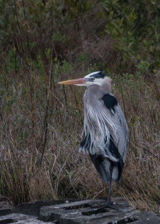 Rockport Birding and Kayak Adventures: Great Blue Heron in mating plumage