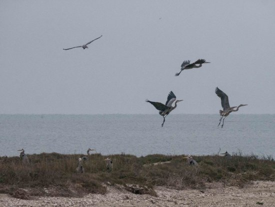 Rockport Birding and Kayak Adventures: I counted 12 Great Blue Herons in this shot.