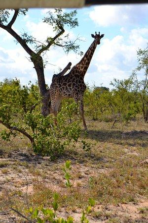 Manyeleti Game Reserve, Afrique du Sud : Giraff på morgen-safari
