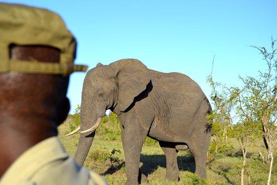 Manyeleti Game Reserve, Afrique du Sud : Elefant på morgensafari