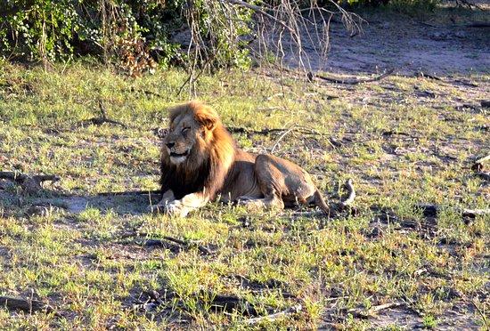 Manyeleti Game Reserve, Afrique du Sud : Hann løve
