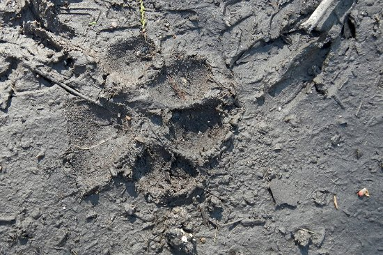 Copeland, FL: Probable panther track - right behind a deer print