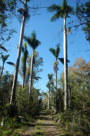 Copeland, FL: Royal Palms line the trail for hiking or cycling