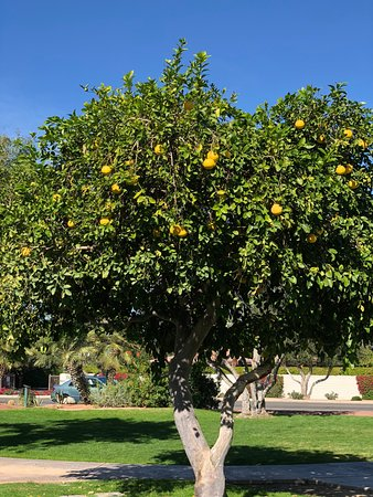 Rancho Mirage, CA: Lemon Tree