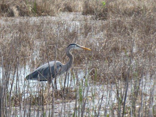 Lake Woodruff National Wildlife Refuge: Great blue heron in the marsh