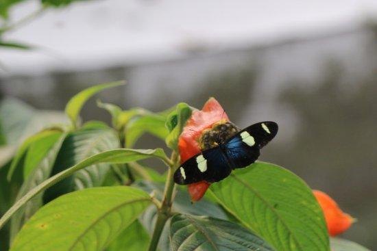 Mariposario Tambopata: Butterfly enjoying the nectar.