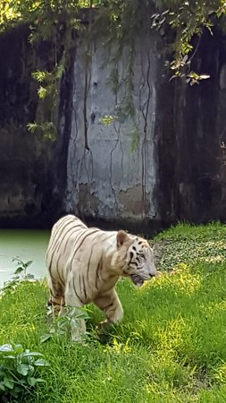 Dimapur, Ινδία: The tiger was looking for a way out all the time.