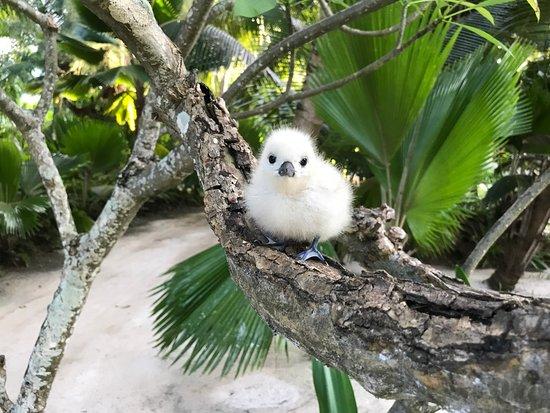 Νησί Ντενί, Σεϋχέλλες: Baby Fairy Tern