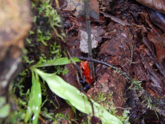 Bijagua de Upala, Costa Rica: Blue Jean Frog.