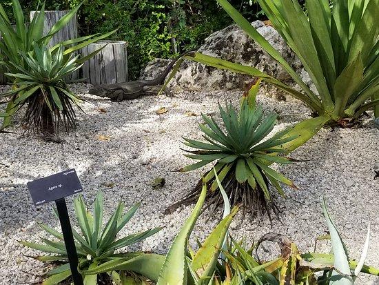 Queen Elizabeth II Botanic Park: Blue Iguana QE II Botanica Garden