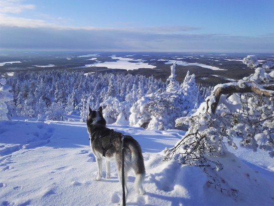 Paltamo, ฟินแลนด์: Our Husky, Pena is looking far from Iivaara Hill in Kuusamo. Very nice, remote and quiet place.
